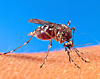 Aedes aegypti mosquito on human skin