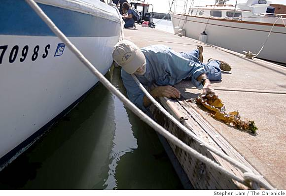 Lars Anderson of the U.S. Department of Agriculture's Agricultural Research Service removes the invasive kelp from a boat docked at Pier 40.