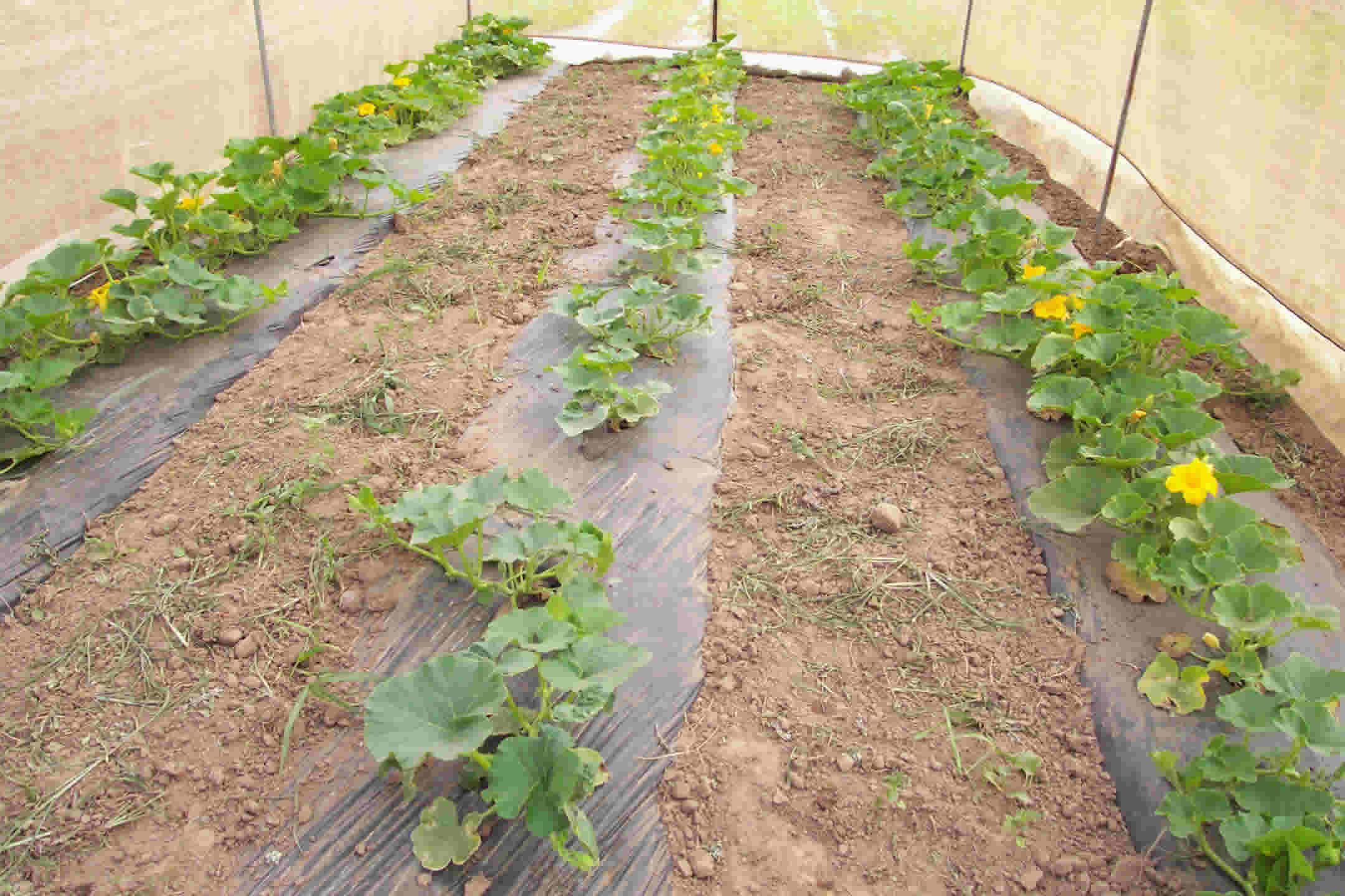 Squash Production