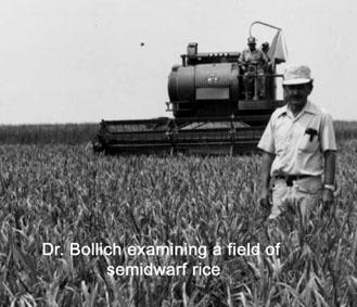 Dr. Bollich examining a field of semidrawf rice