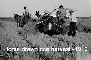Horse drawn rice harvest - 1910