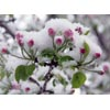 Snow on apple blossoms thumbnail