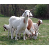 Meat Goats in pasture thumbnail