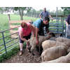 Thumbnail of esearch Microbiologist collects fecal samples from sheep