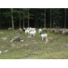Thumbnail of oats and sheep in pasture-trees