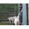 Thumbnail of employee scratching goat's nose