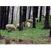 Thumbnail of sheep on hillside