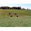 Thumbnail of cattle on pasture