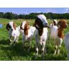 Thumbnail of a group of goats