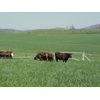 Thumbnail of cattle in field