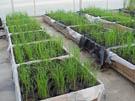 Germinated hybrid seed