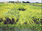 field showing lodging of rice