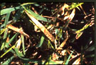 rice leaves showing sheath blight