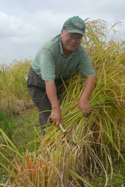 Dr. WenGui Yan harvesting rice plants with hand sickle.