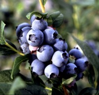 Cara's Choice blueberry cluster