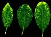 Three citrus leaves with chlorotic yellow spots indicative of CYMV infection
