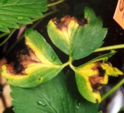 Strawberry leaves showing necrotic (dead) areas surrounded by chlorotic (yellow) areas indicative of angular leaf spot infection
