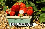 Image of a pint basket full of Delmarvel strawberries