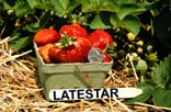 Image of a pint basket full of LateStar Strawberries