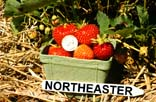 Image of a pint basket full of Northeaster strawberries
