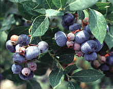 image of a legacy blueberry cluster on the bush