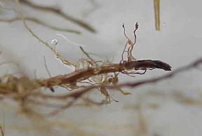 Stubby Root Nemaode