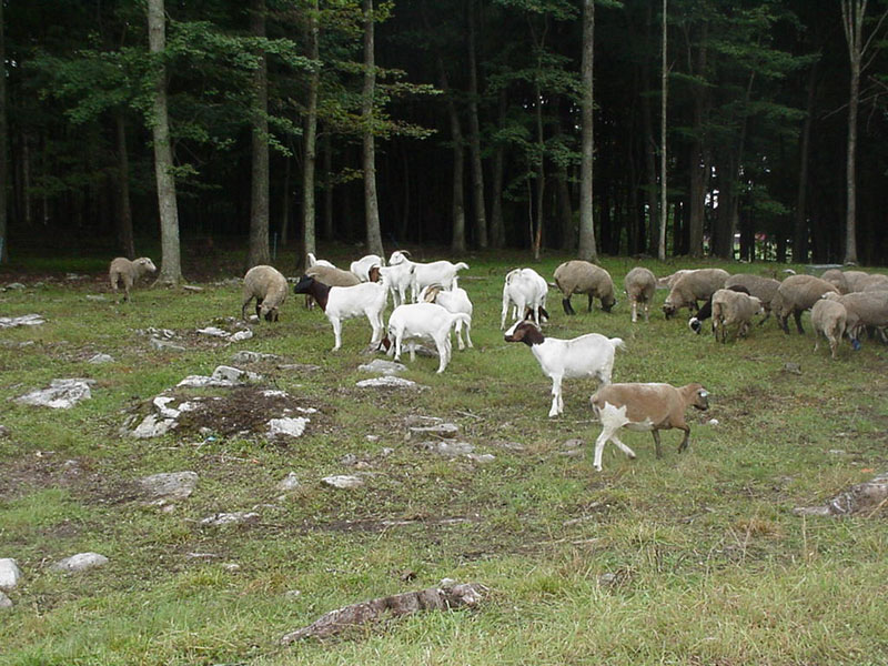Goats and sheep in forest and open area