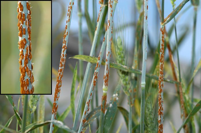 Usda Cereals Disease Lab Minnesota Fact Sheet Stem Rust