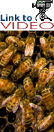 Bees in hive: Link to video on CCD.