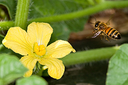 Honey bee flies to a flower.