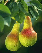 Photo: Pears hanging on a branch.