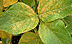 Soybean rust.