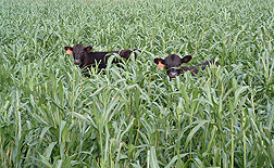 A cow and calf grazing on a summer cover crop of pearl millet. Link to photo information