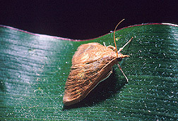 The adult female European corn borer moth. Link to information.