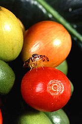 In coffee fields, medflies lay their eggs in fruits that house the coffee beans.