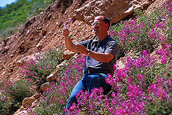 Geneticist Tom Jones examines Utah sweetvetch. Link to photo information.