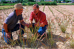 Geneticist and plant physiologist observe seed head maturity in a cultivated plot of squirreltail. Link to photo information.