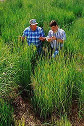 Geneticists observe hybrids resulting from crosses between Great Basin wildrye and beardless rye. Link to photo information.