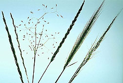 Seed heads of various native grasses. Click image for additional information.