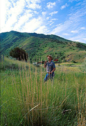 Geneticist Tom Hones searches for bluebunch wheatgrass. Link to photo information.