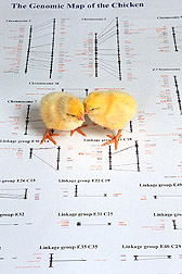 Photo: Two chicks atop a picture of a genetic map of a chicken.