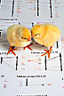 Chicks on top of a genetic map of a chicken.