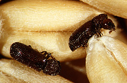 Lesser grain borers feeding on wheat kernels. Link to photo information