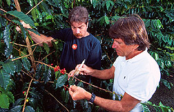 A technician and entomologist apply protein bait droplets to coffee leaves. Link to photo information.
