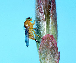 Photo: Fergusonina fly. Link to photo information