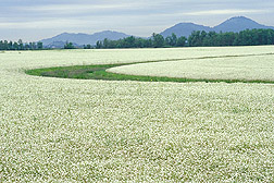 Meadowfoam in full bloom: Click here for photo caption.