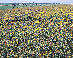 A field of safflower: Click here for full photo caption.