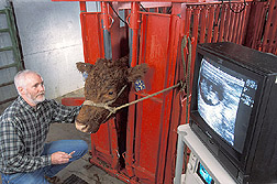 Reproductive physiologist prepares to take a blood sample from a cow: Click here for full photo caption.