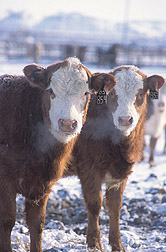 Crossbred commercial calves: Click here for full photo caption.