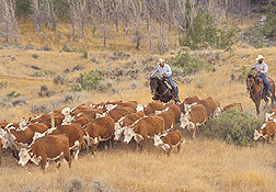 Cattle drive in Montana: Click here for photo caption.